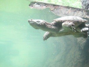 Turtle showing off.