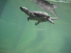 Fast-swimming turtle.