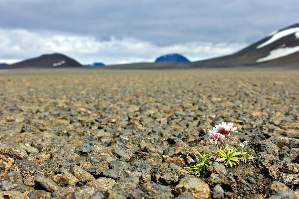 Iceland - Flower in Dirt Road