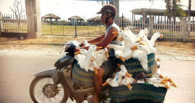 Motorcyclist with Ducks